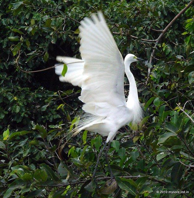 Great Egret at Ranganthittu