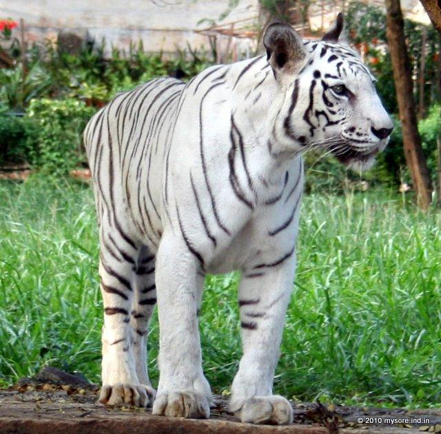the white tiger essay The white tiger 1) the rooster coop is cages in the delhi markets, with hundreds of hens and roosters stuffed in them they can barely breath, and they emit a smell of terrified flesh.
