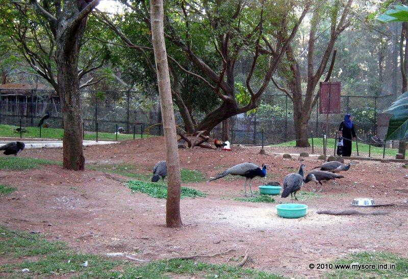 Peacocks inside the aviary