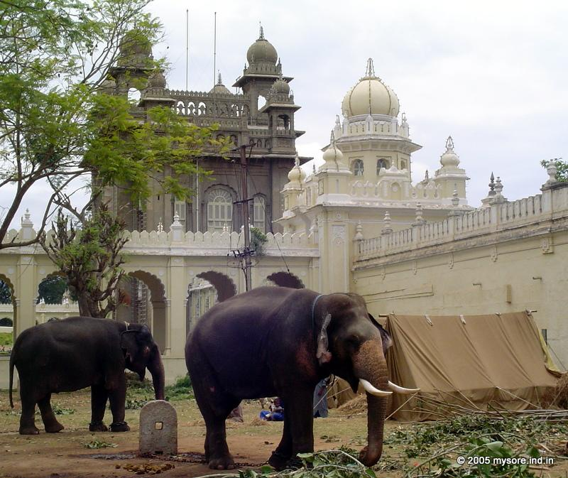 Dasara Elephants in Mysore Palace compound. Mysore Dasara season around September-October every year brings a lot of festive actions around the Mysore palace