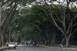 Rain Tree canopy at Valmiki Road in Mysore