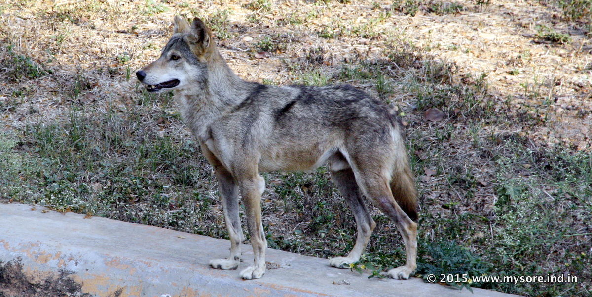 Indian Grey Wolf in Mysore Zoo