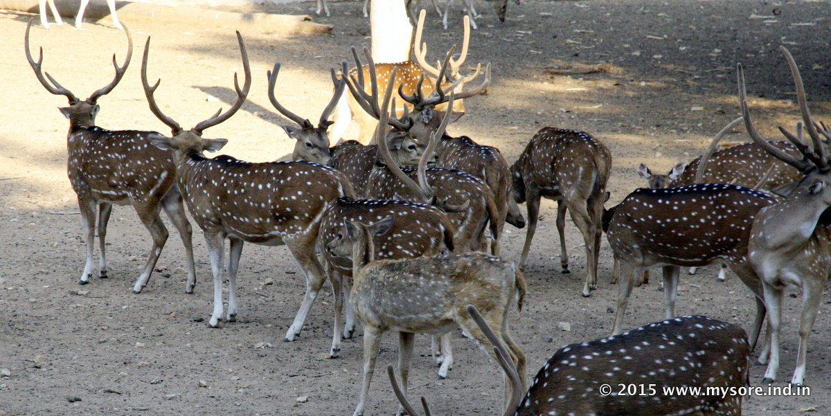 Spotted Deers  as called Axis Axis in Mysore zoo